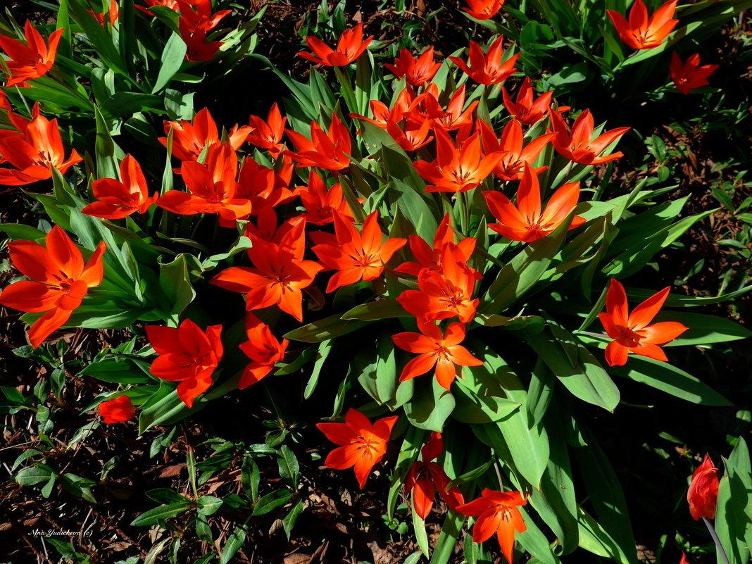 Весенние цветы (серия). Огненные тюльпаны - Nina Yudicheva