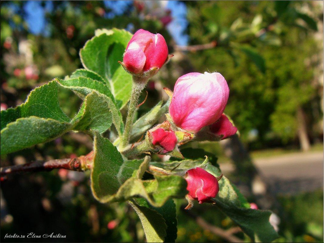 Сначала цветы,потом яблочки))) - °•●Елена●•° ♀