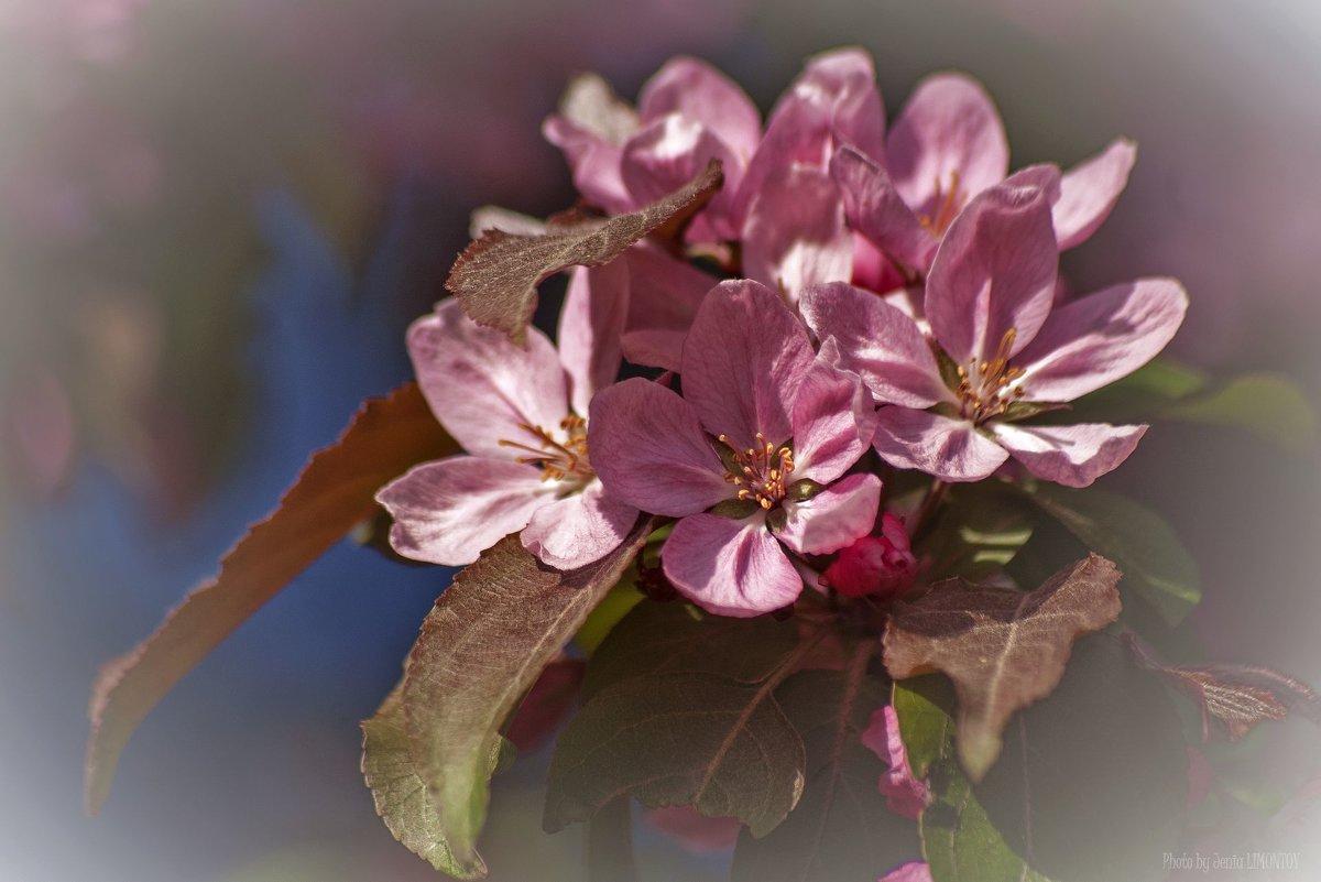 Яблони в цвету, какое чудо ... - Евгений Лимонтов