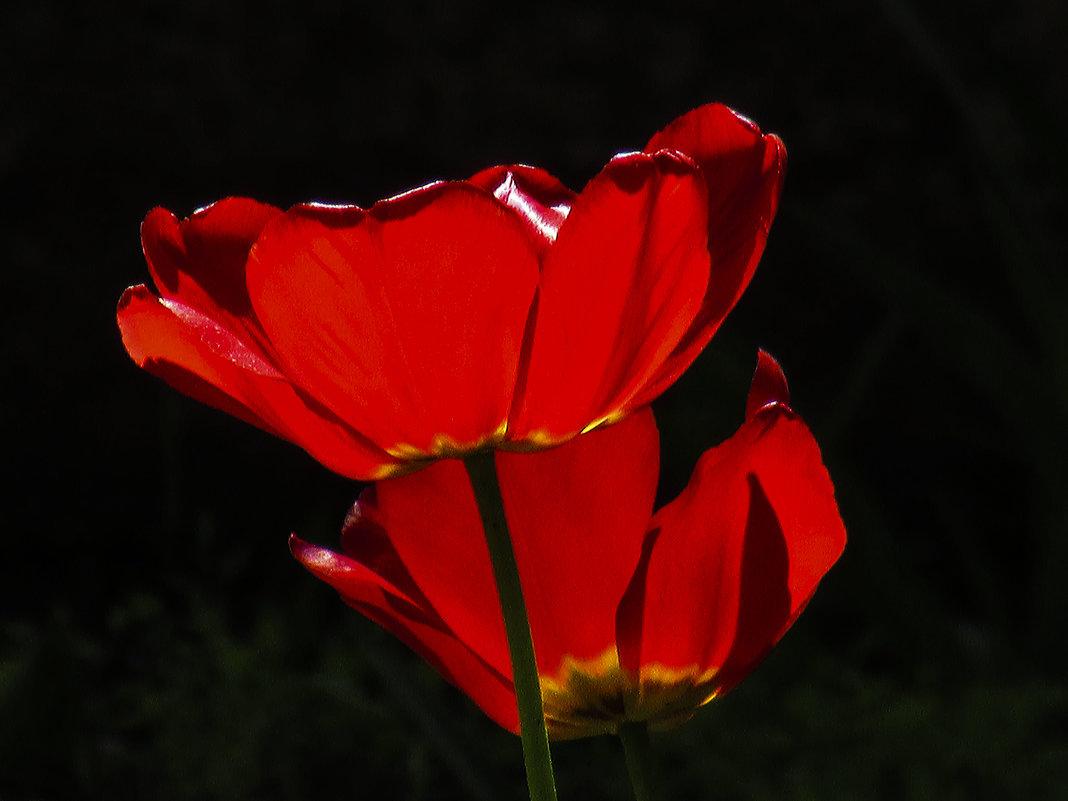 красные тюльпаны - Марина Ринкашикитока