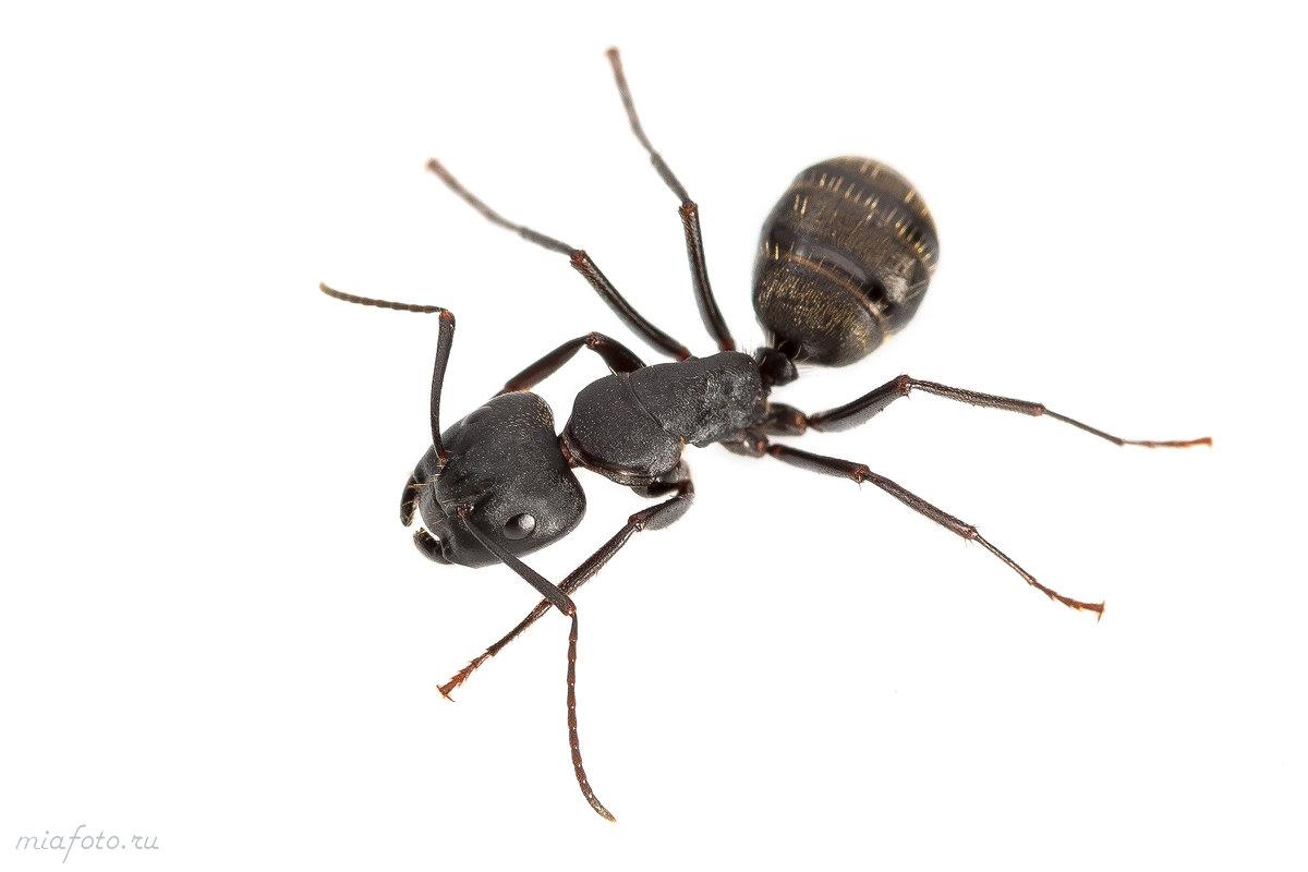 Лесной муравей - Николай Мелонов