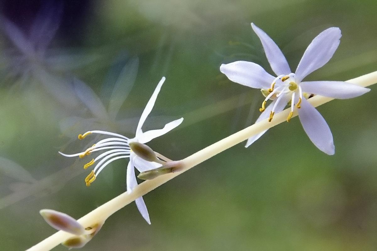 Цветениус мизериус - Kliwo