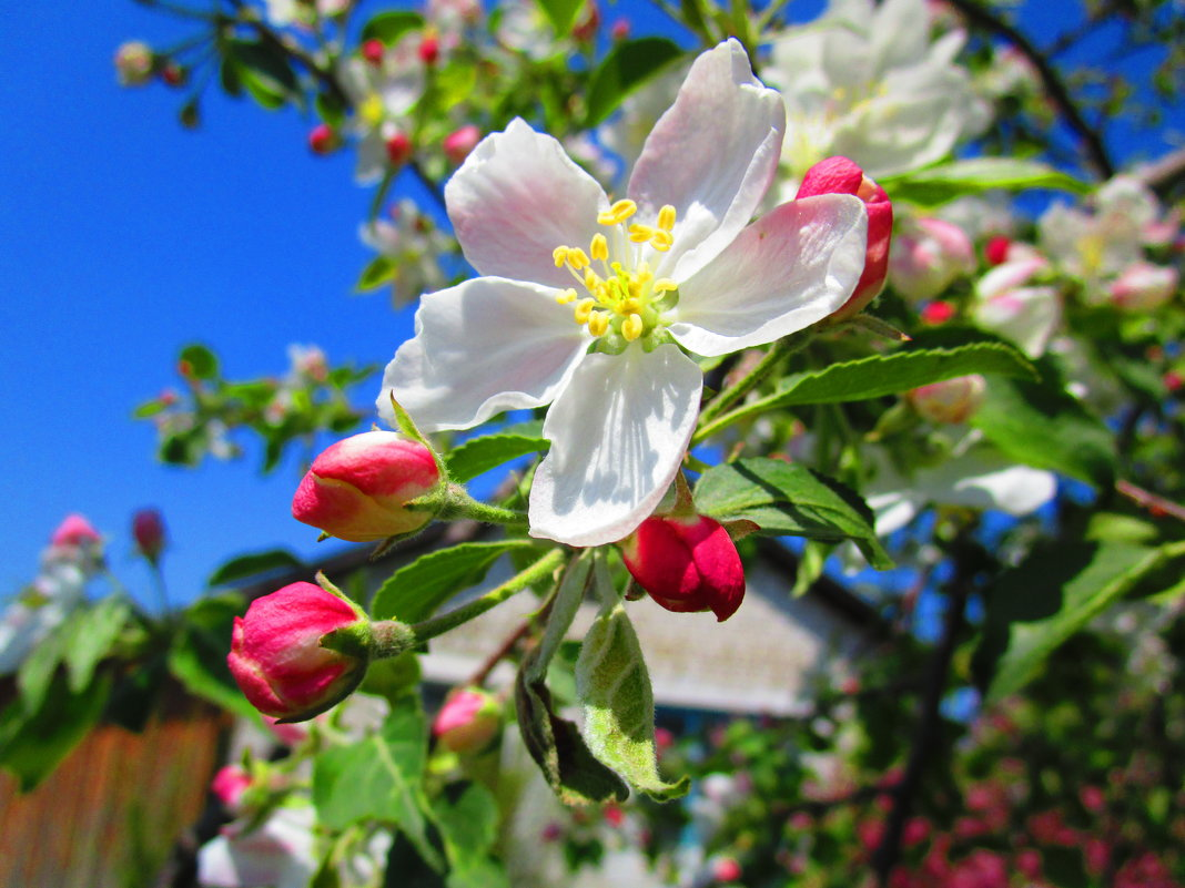 Яблоня в цвету ! - Татьяна ❧