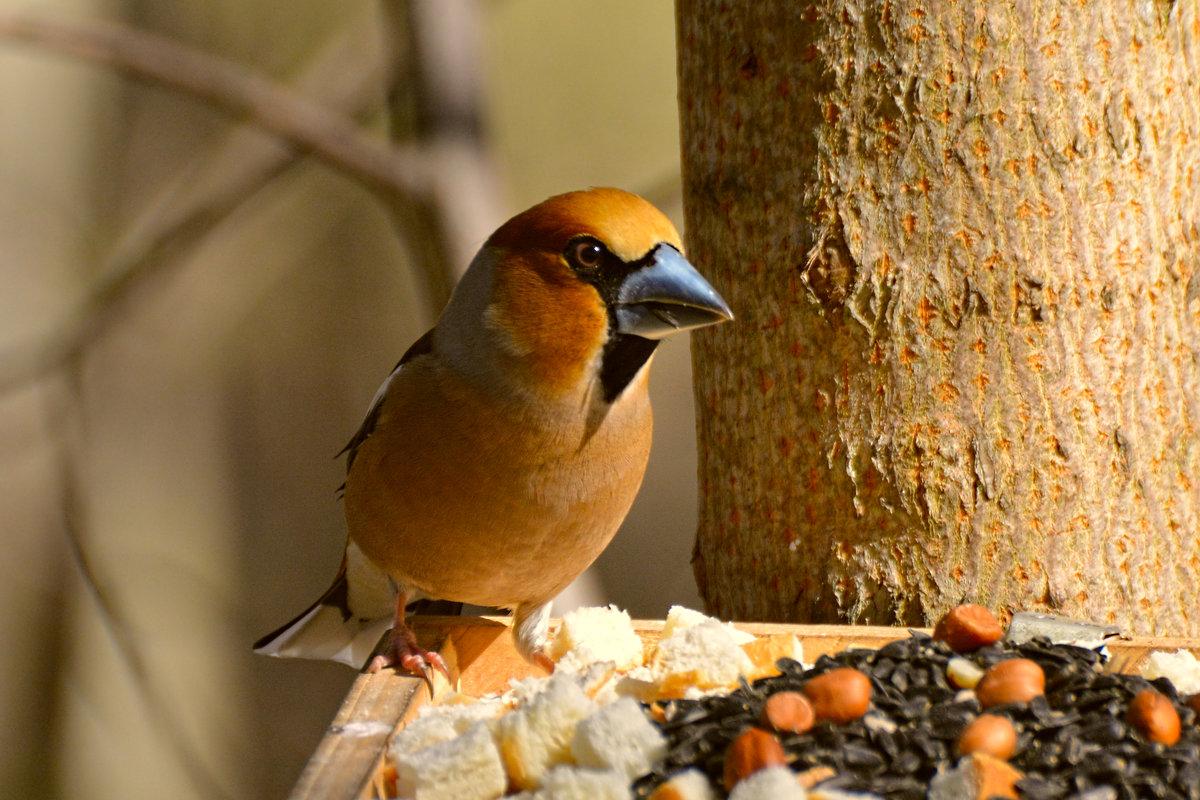 дубонос - linnud