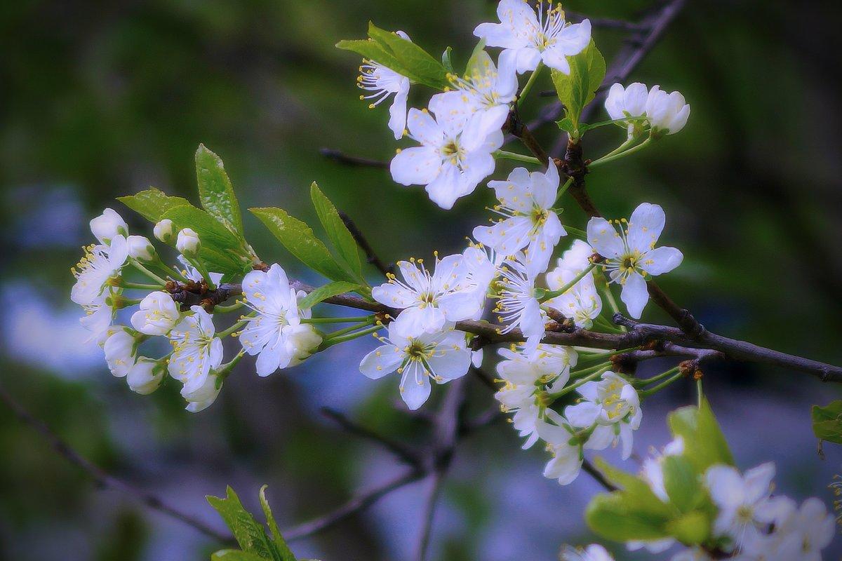 Весны цветение - Наталья Лакомова