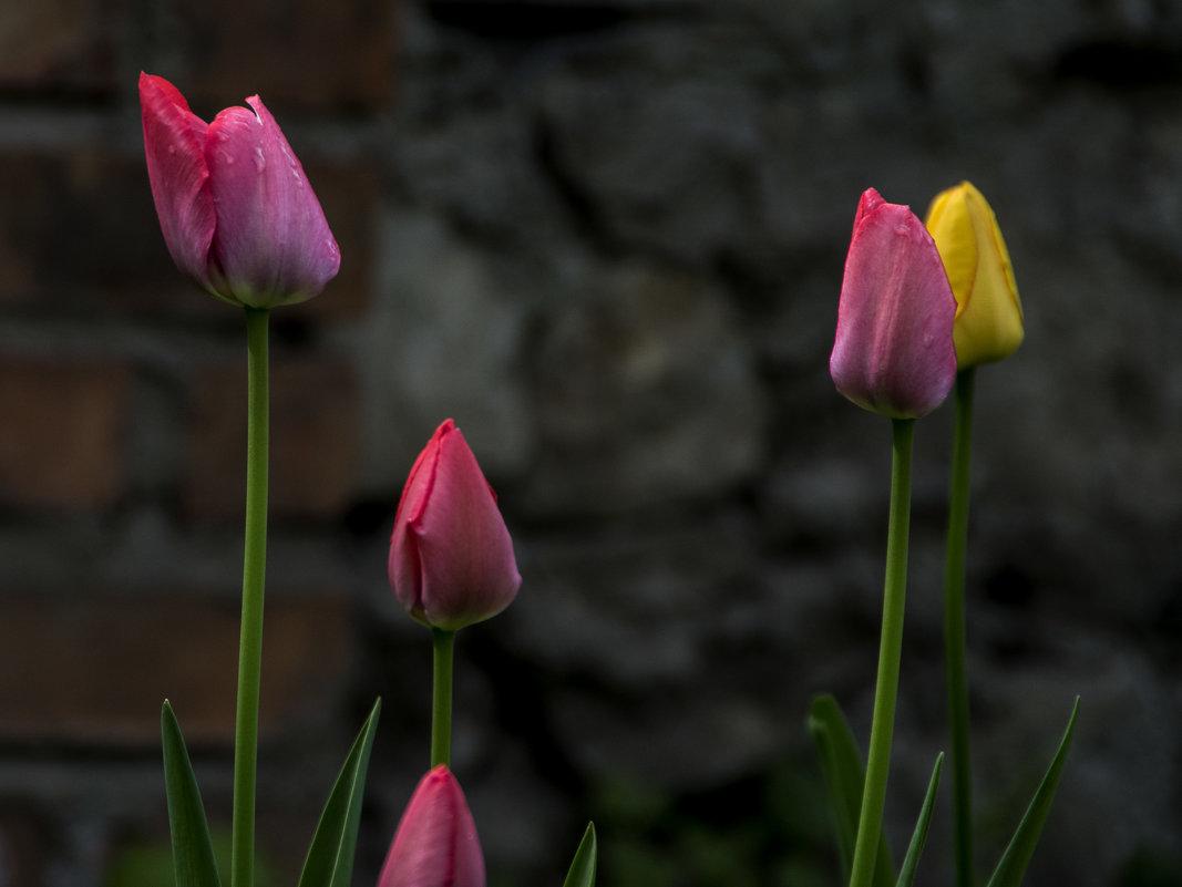 Тюльпаны при +6 - Яков Реймер