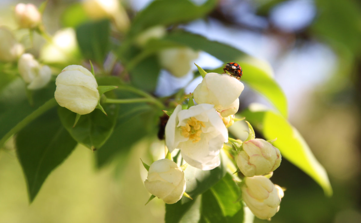 яблони в цвету - Tatyana Zholobova