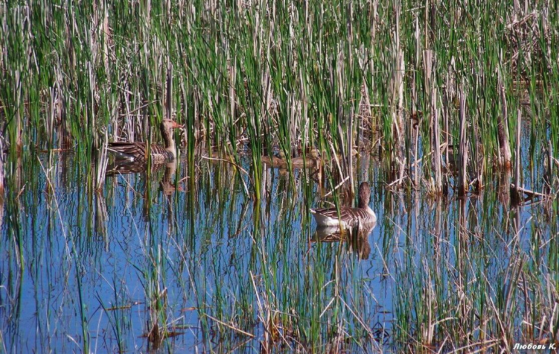 Дикие гуси с  выводком на пруду....(Снимок из далека)... - Любовь К.