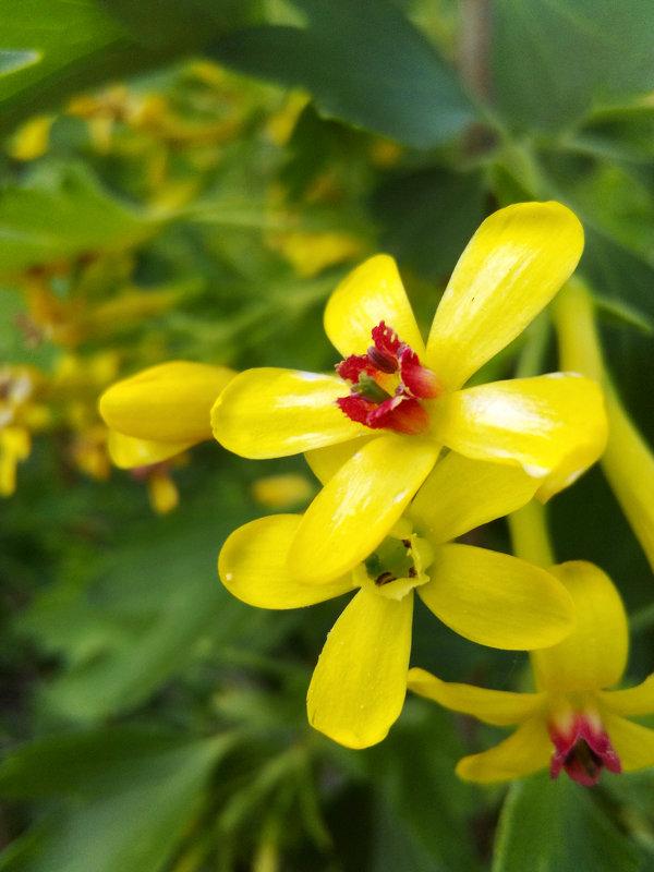 Весна! Цветущая смородина - Татьяна Королёва