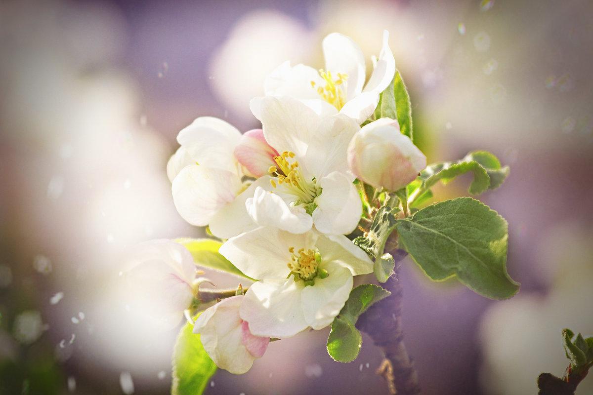 Яблоневый цвет - Ольга