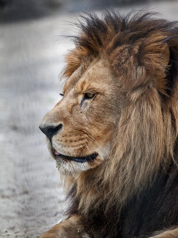 Африканский лев - Владимир Габов