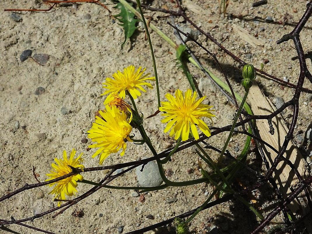 Ястребинка - яркое чудо, рыжий цветок - Маргарита Батырева