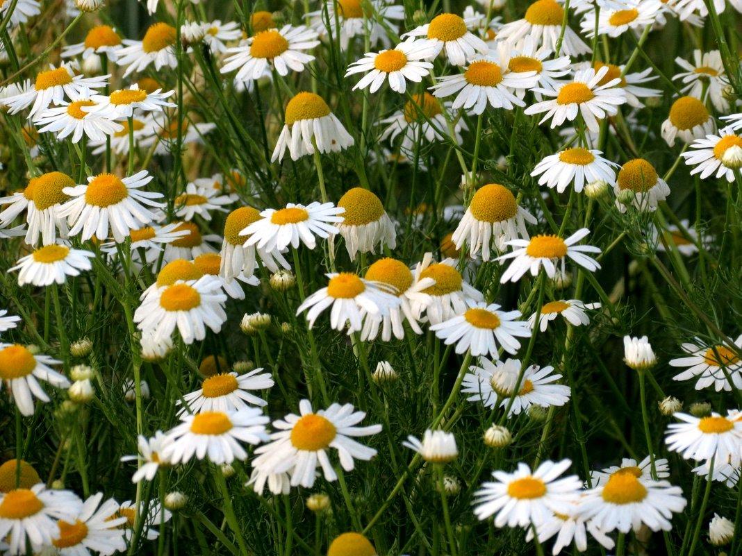 Ромашковые поля - Марина