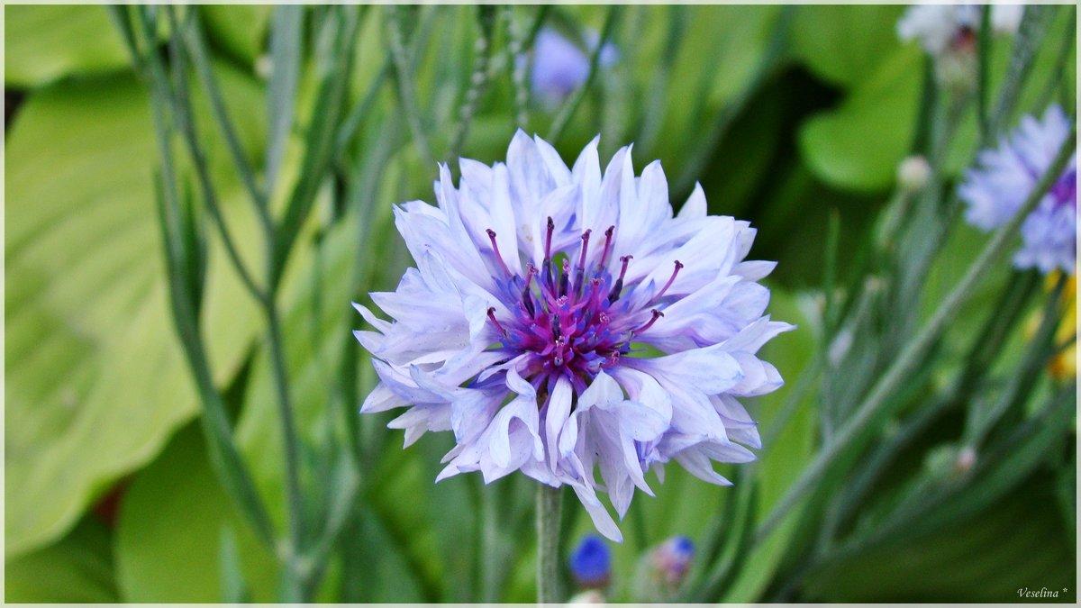 Цветы лета - Veselina *