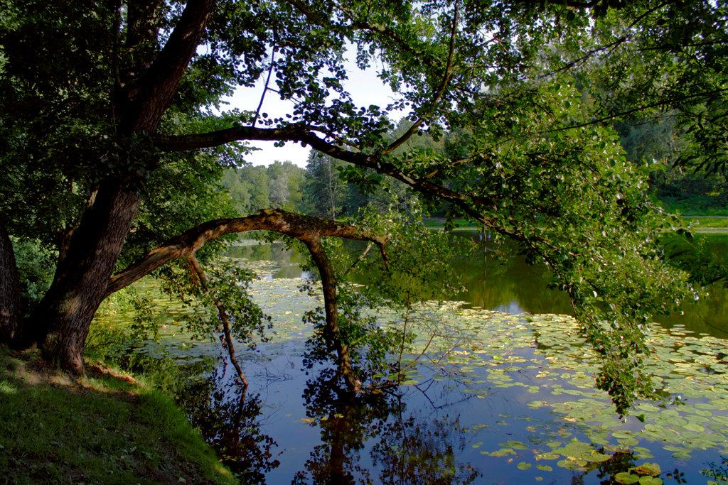 Раскинув ветви над прудом...стоит в святом очарованье - Vera Ostroumova