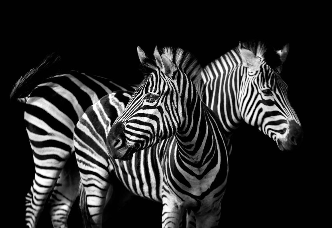 Зебры - олег