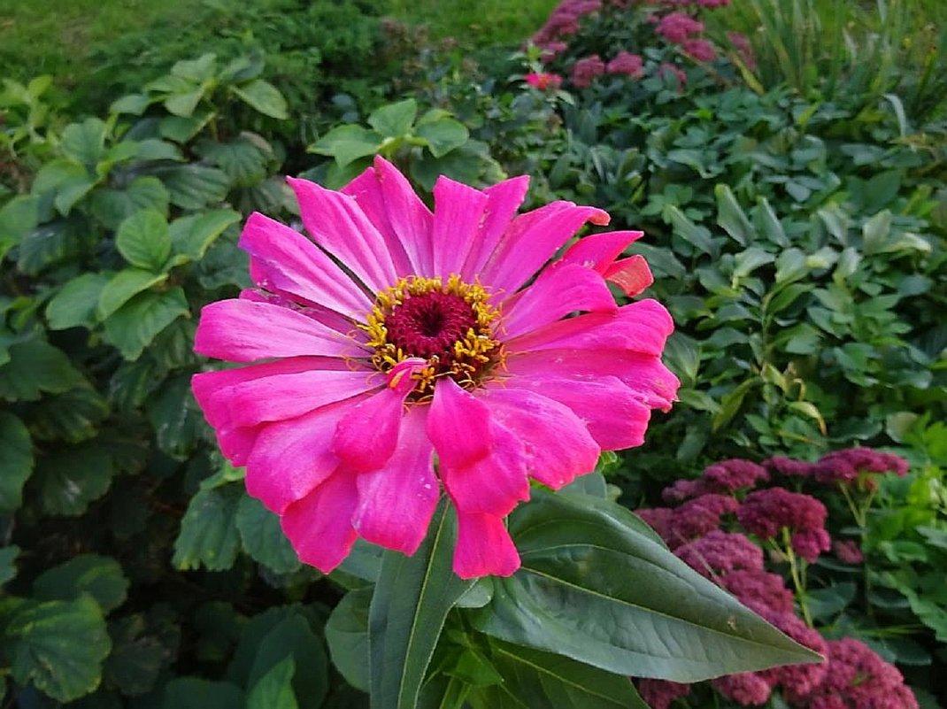 Цветы октября - Цинния - Маргарита Батырева