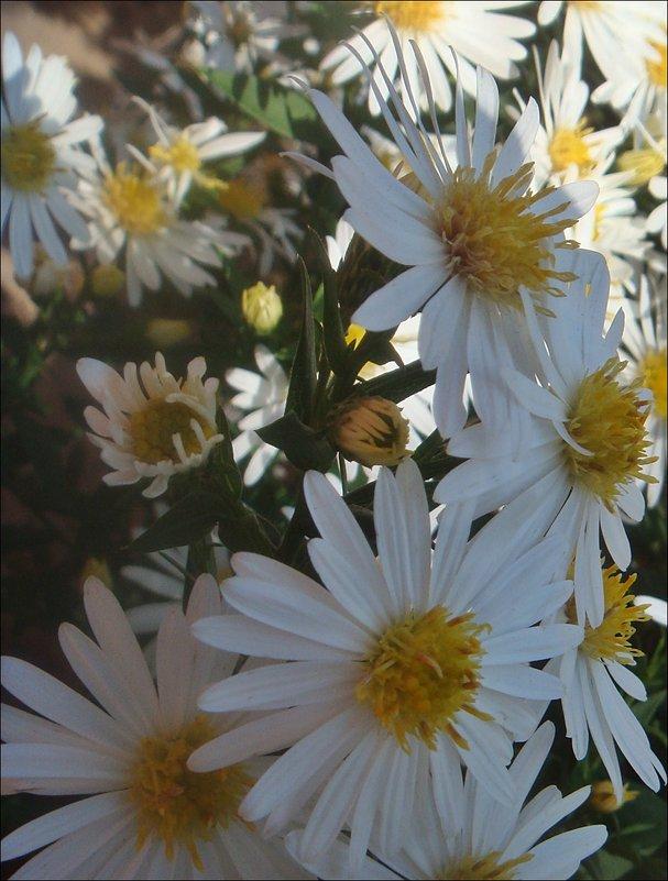 Белы, как снег, наши сентябринки - Нина Корешкова