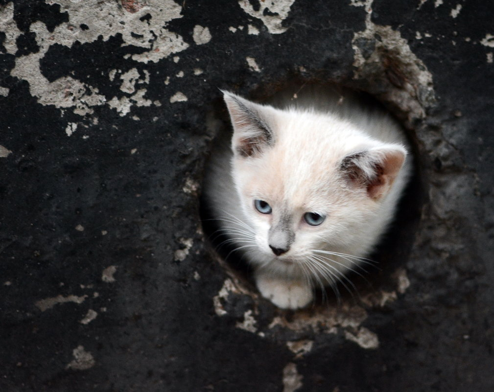 Полусиамский котенок - Олег Шендерюк