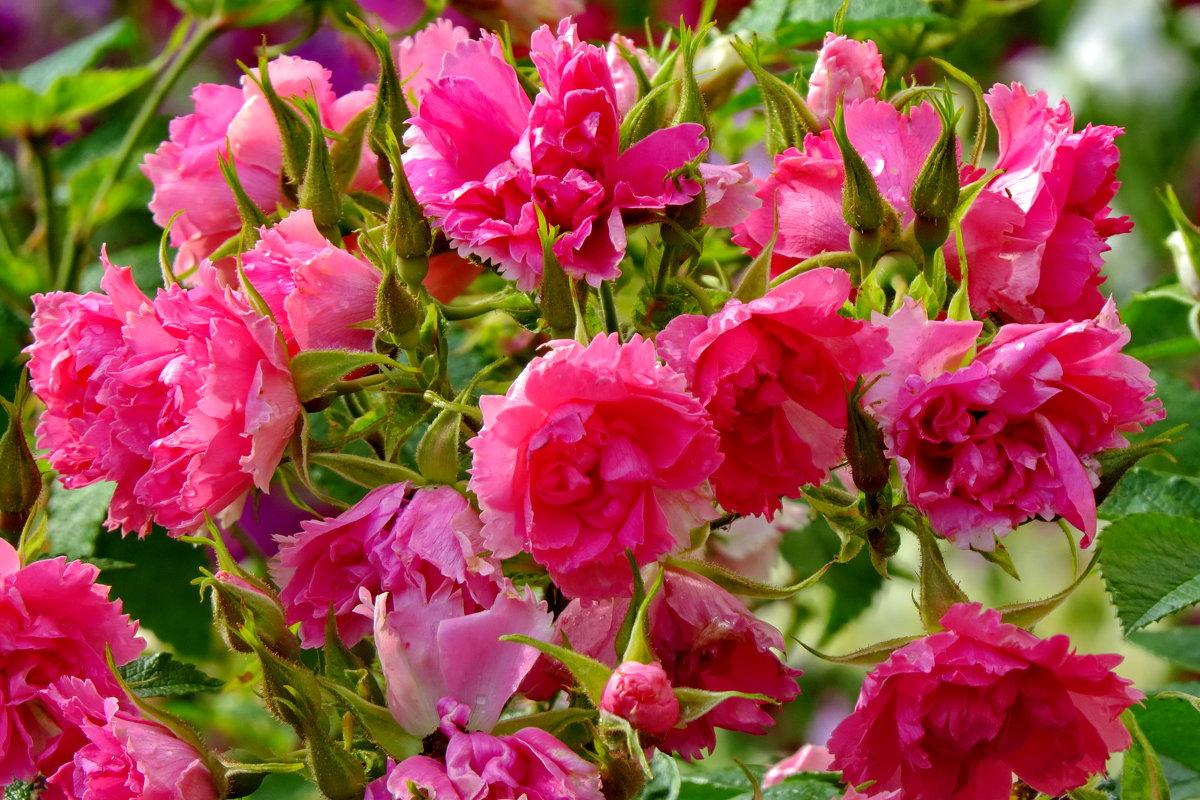 Летние красуются цветы - Светлана Петошина