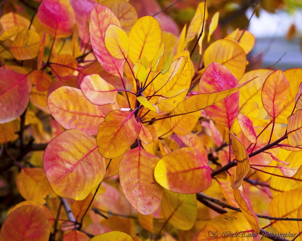 Золотые листья - Светлана