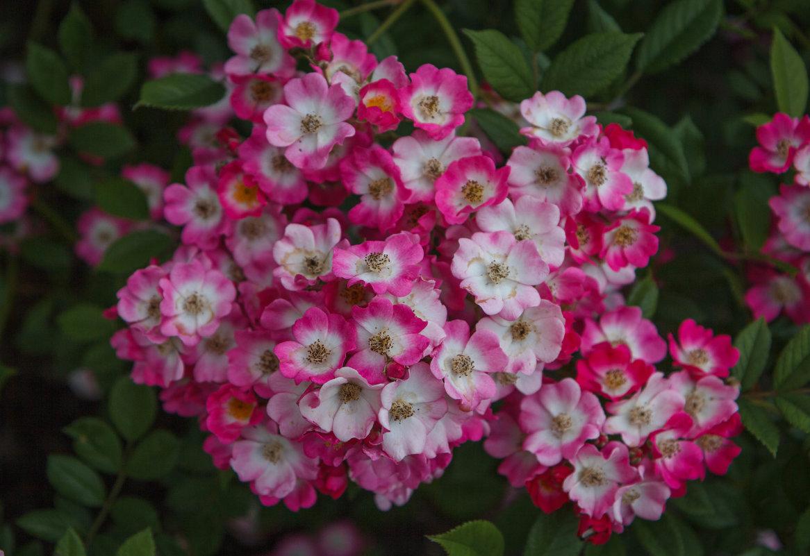 Хоть и маленькие , но розы.. - Андрей Нибылица