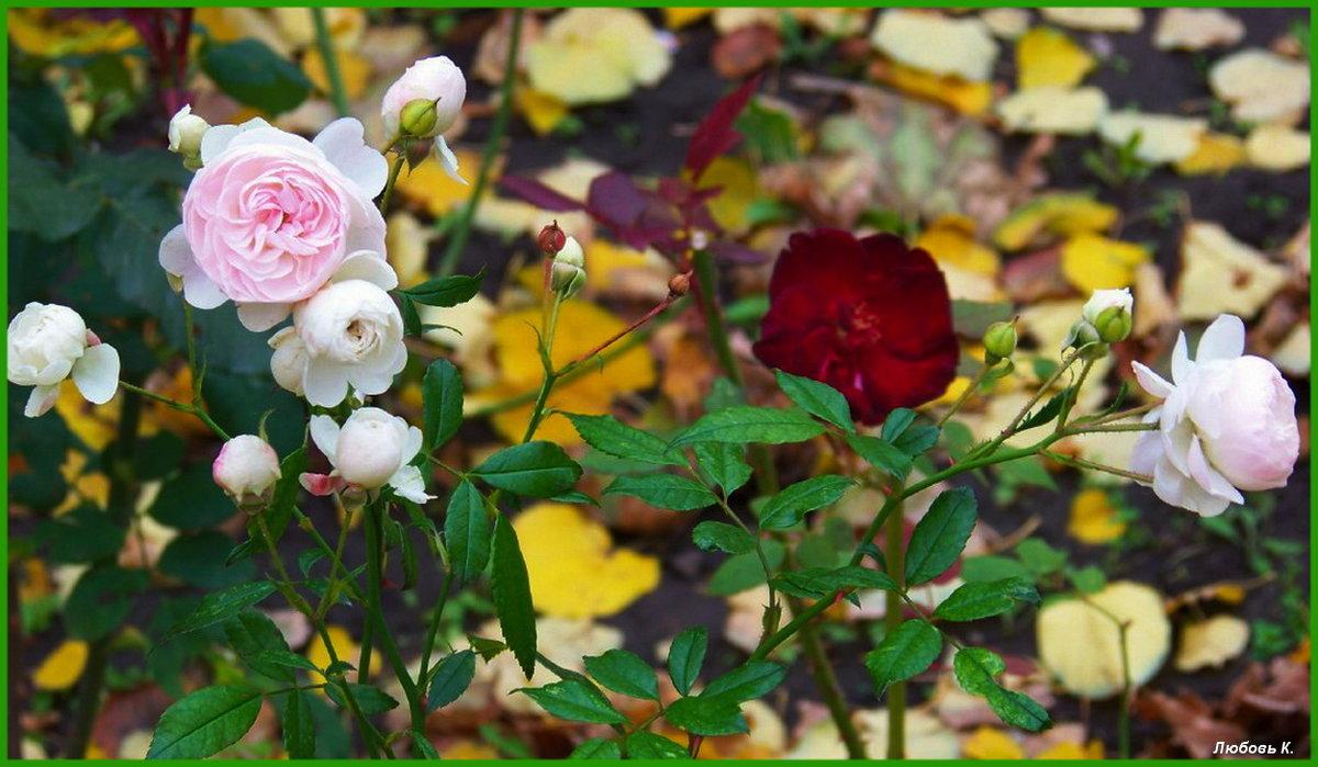 Еще немного о розах осенних...:) - Любовь К.