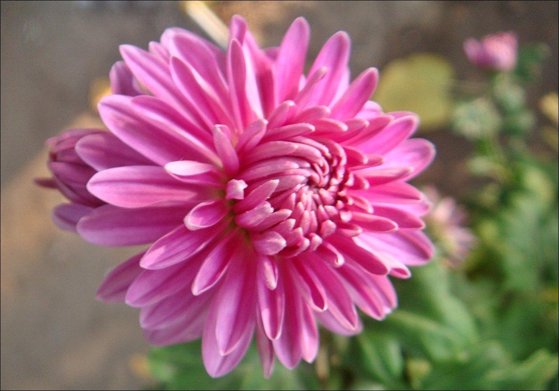 В нашем дворе царствуют хризантемы - Нина Корешкова