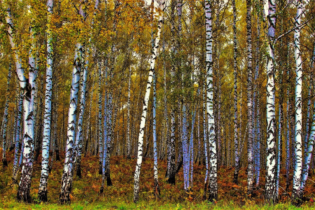 Берёзовый лес - Сергей Чиняев