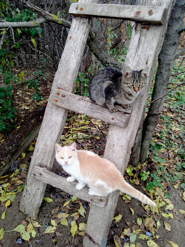 "Кот ""Маркиз"" и кошка ""Снежинка"" - Татьяна Королёва"