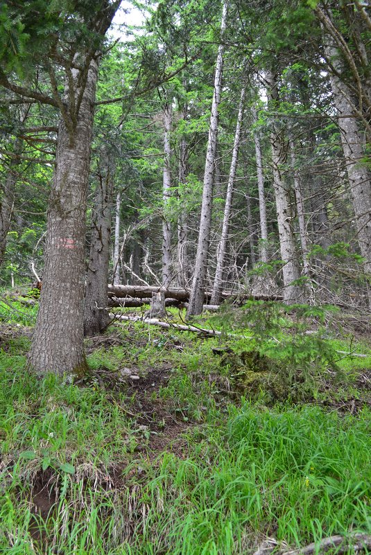 Альпийский лес - Ольга