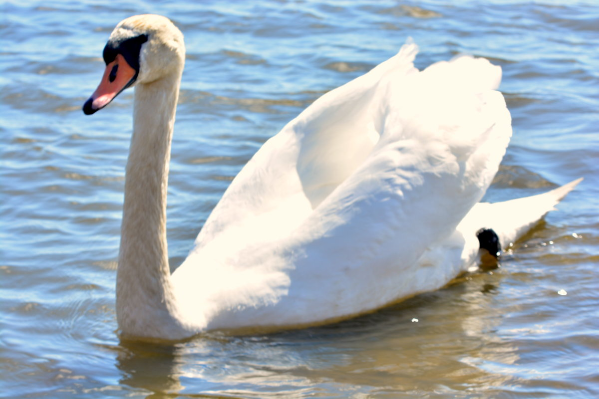 Лебедь белый - Caren Yvonne Rikkilä