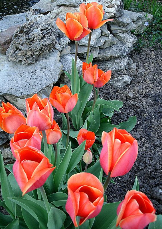Тюльпаны - svetlana.voskresenskaia