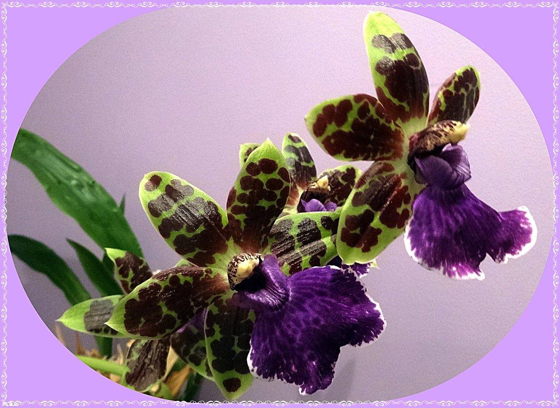 Орхидея Зигопеталум - Вера