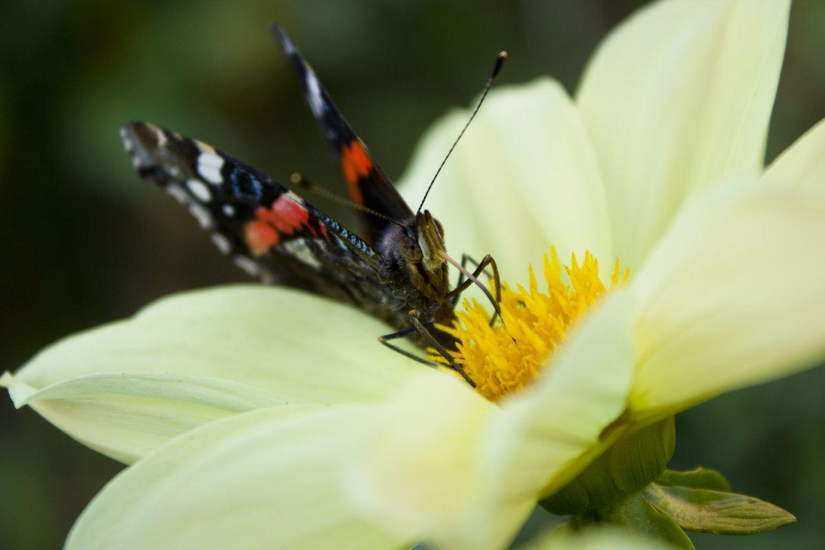 бабочка - Ольга @