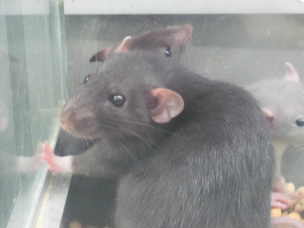 крыса-мать - Зинаида