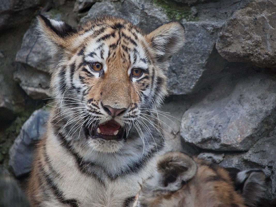 Амурский тигр - Владимир Габов