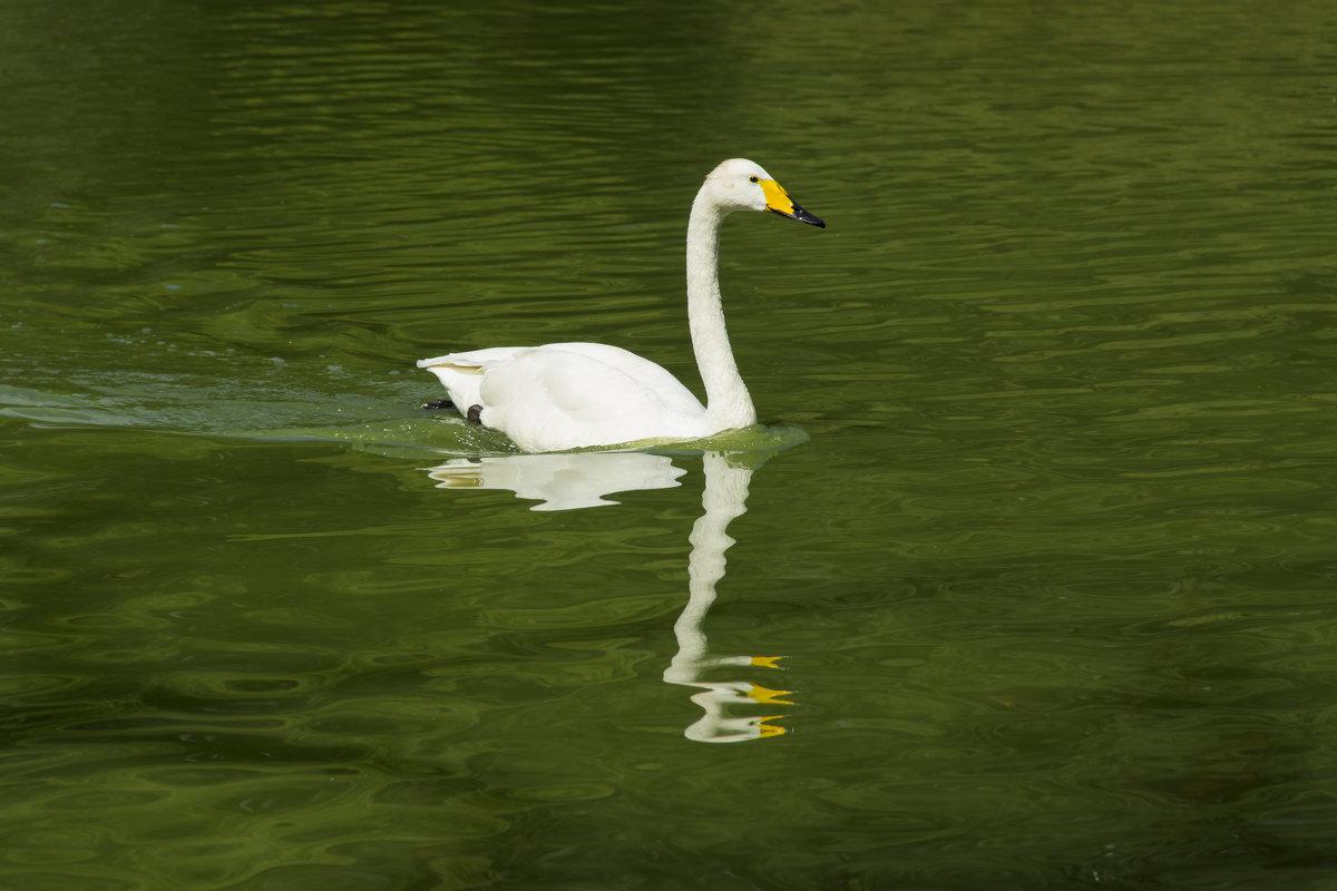 Лебедь - Дима Пискунов