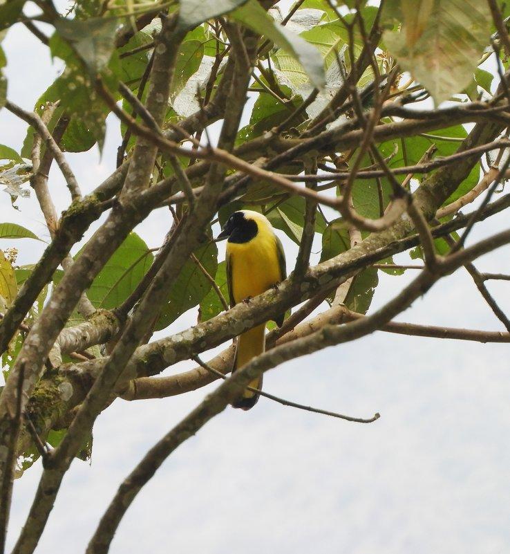 Yellow-tailed Oriole - чудинова ольга