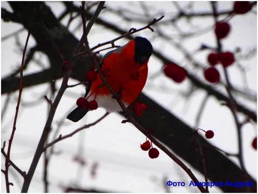 Снегирь - Андрей