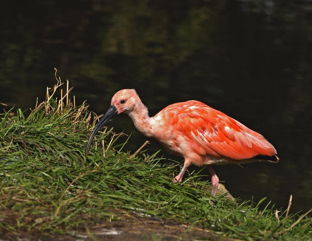 Красный ибис. Scarlet ibis - Юрий Воронов