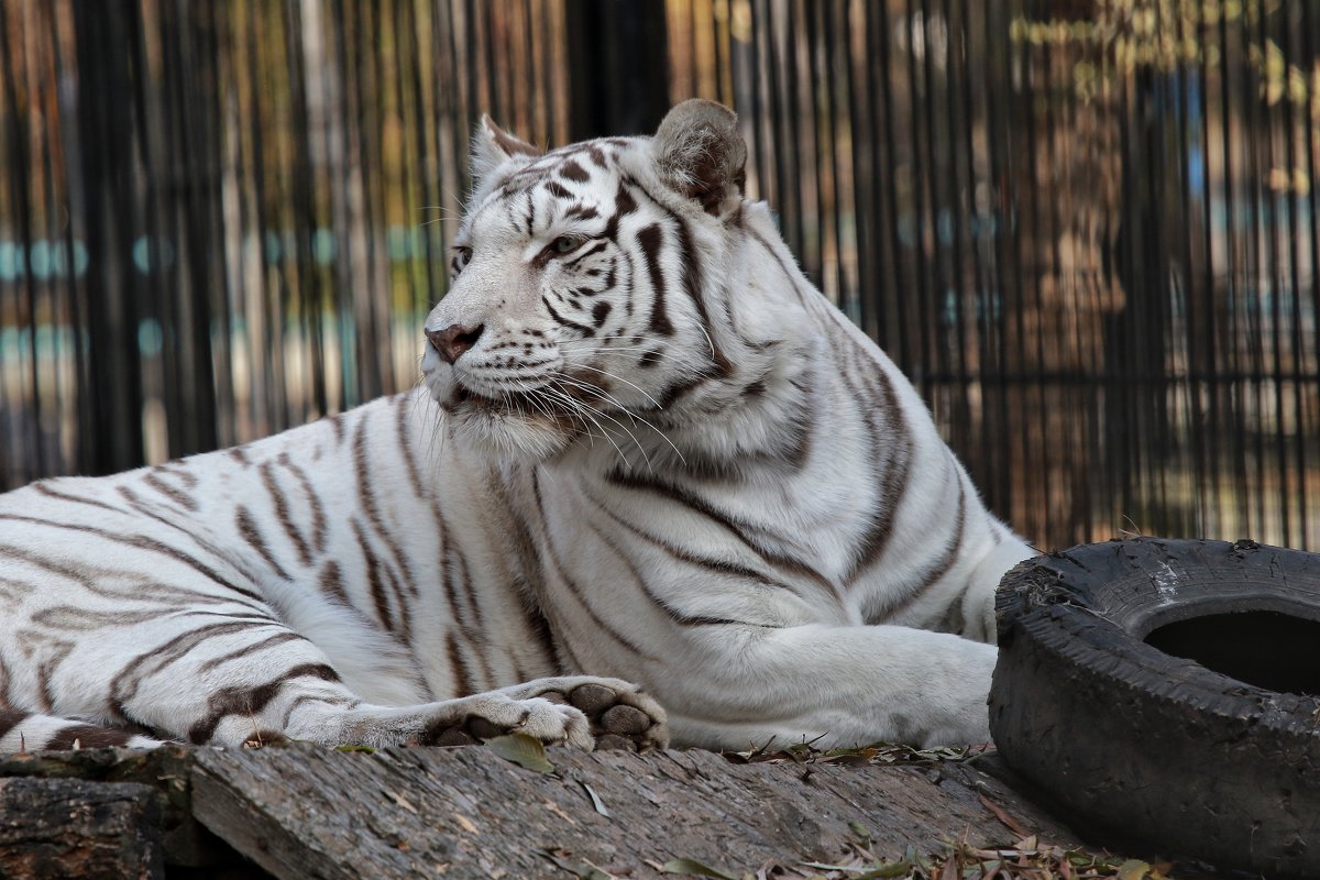 Бенгальский тигр - Владимир Шадрин