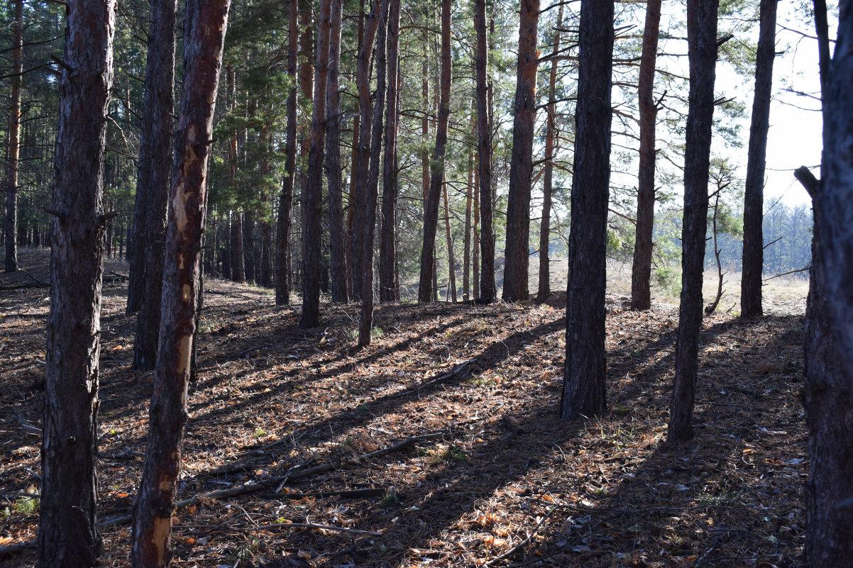 в сосновом лесу - татьяна