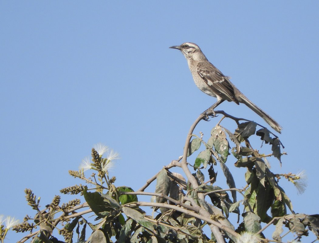 Long-tailed mockingbird - чудинова ольга