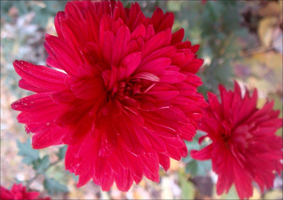 Цветут хризантемы.  А где-то выпал снег... - Нина Корешкова