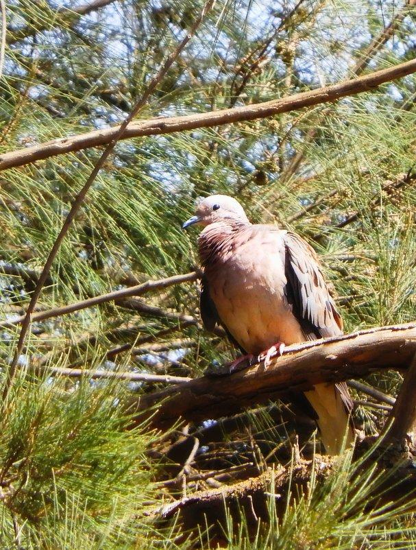 Eared Dove - чудинова ольга