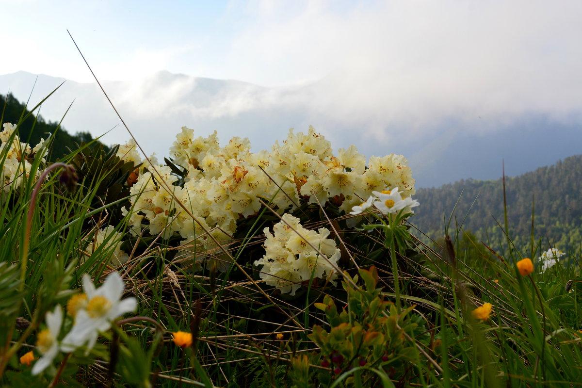 Цветущие рододендроны - Юрий Будаев