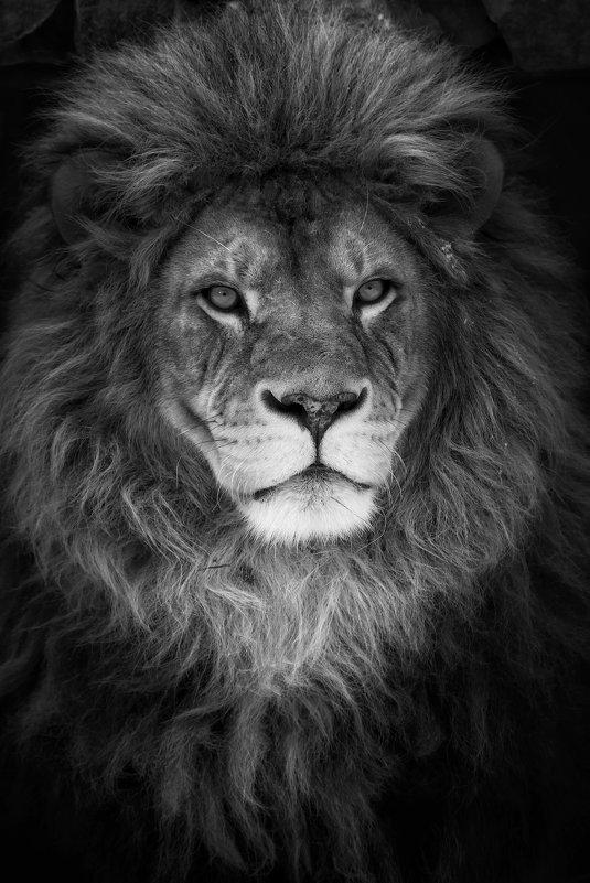 Африканский лев - Владимир Шадрин