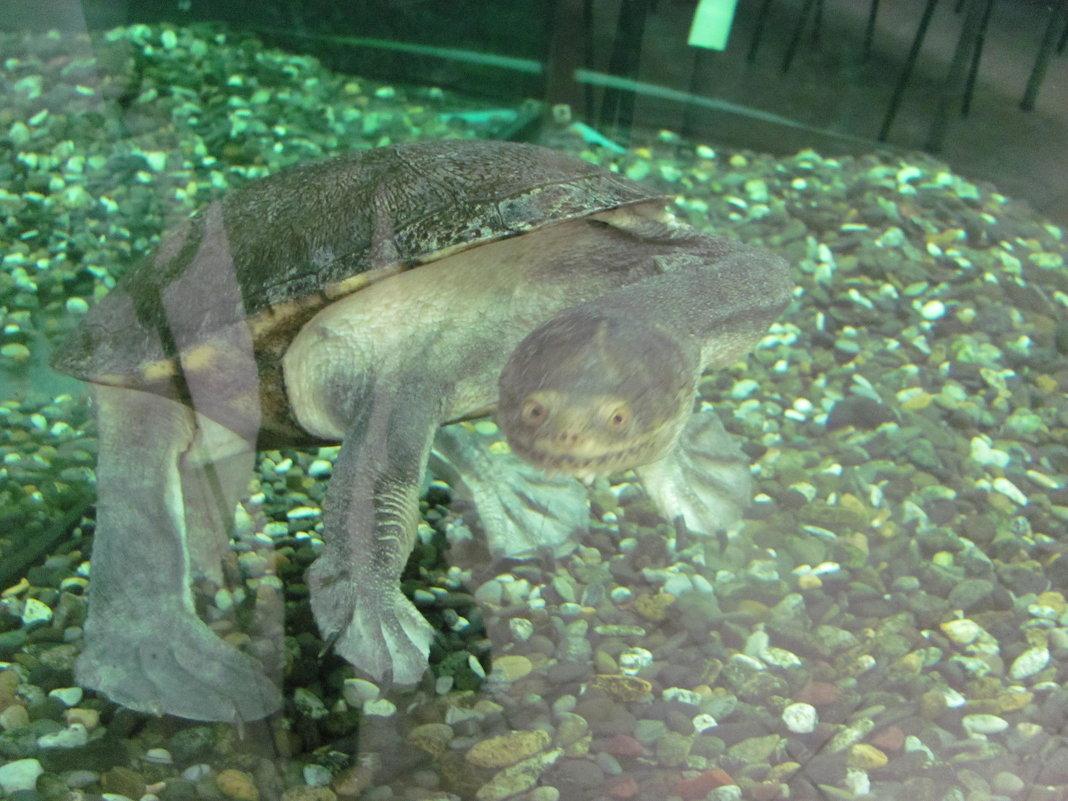 черепаха - Зинаида