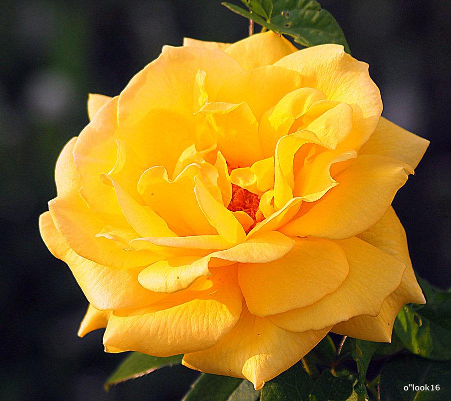 золотая и роза - Олег Лукьянов